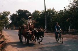 Man on a cart pulled by oxen being passed by another individual on a bicycle
