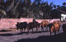 Man walking cattle down a cobblestone road with a red brick wall behind him