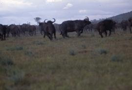 Keekorok Game Reserve - wildebeests
