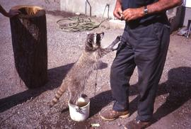 Raccoon standing on top of a bucket full of water with its paws on the leg of an unknown man who ...