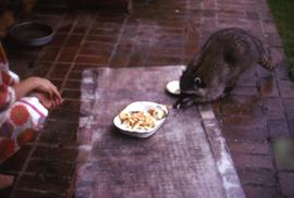 Raccoon feeding from a paper container and a woman, likely Phyliss Snider, crouched nearby