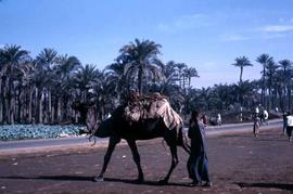 Unidentified man with camel