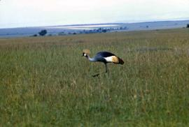 Keekorok Game Reserve - grey crowned crane