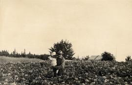 Field of potatoes, Greive farm, Sewall, Queen Charlotte Islands