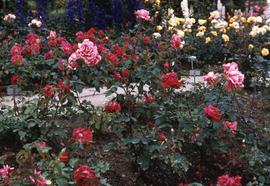 Garden with pink and red roses in the foreground and purple, white, white and yellow flowers in t...