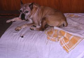 One of the Snider's dogs, lying on a bed