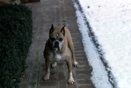 One of the Snider's dogs standing outside with snow
