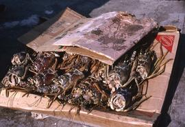 Pile of headless lobsters between two cardboard boxes