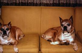 Two of the Snider's dogs lying on a couch