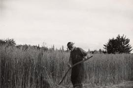 Mr. Greive harvesting oats, Sewall, Queen Charlotte Islands